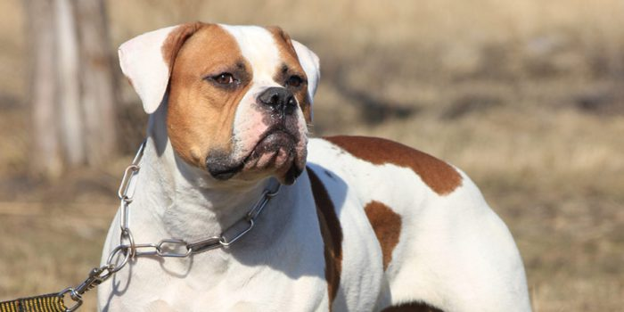 American Bulldog - fighting breed
