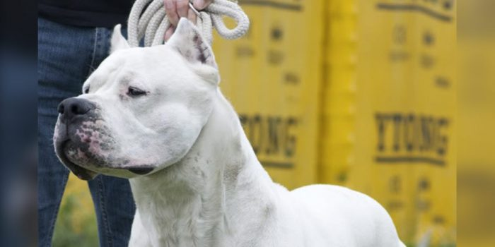 Dogo Argentino - fighting breed