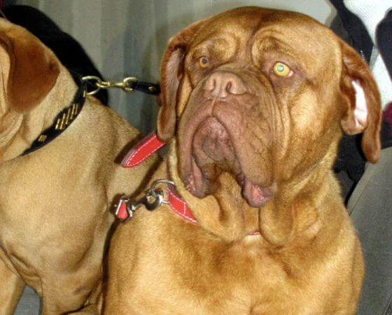 Dog de Bordeaux (French Mastiff)